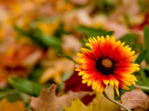 81693-autumn-flower-desktop-wallpaper-1024x768